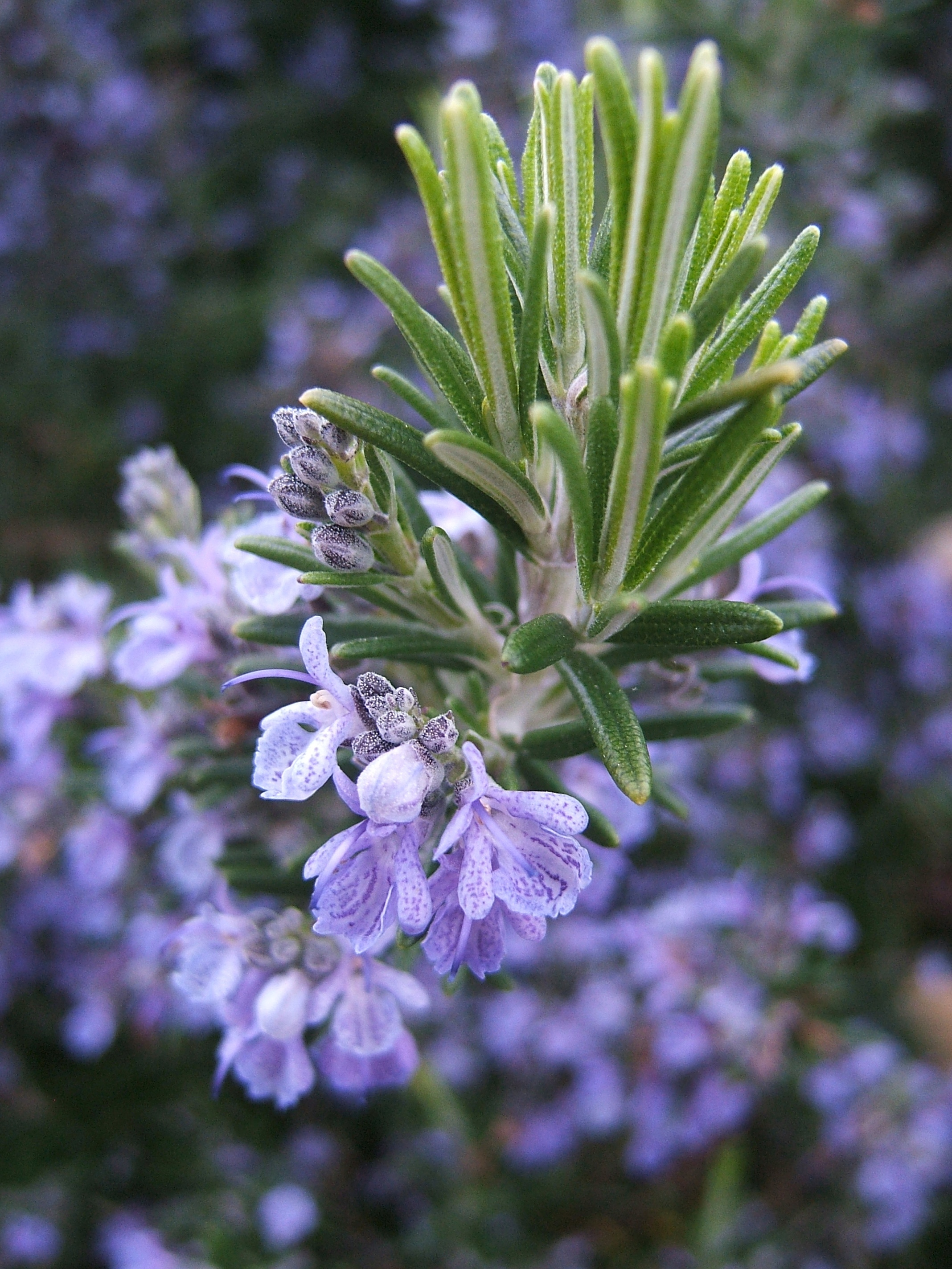 Permaculture Plants: Rosemary | Temperate Climate Permaculture